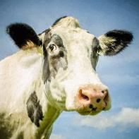 close-up-of-cow-s-face_u-l-pz0gix0